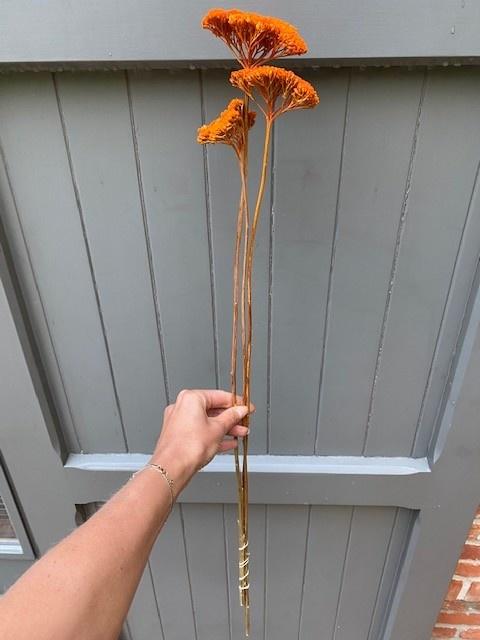DF achillea parker orange 70 cm