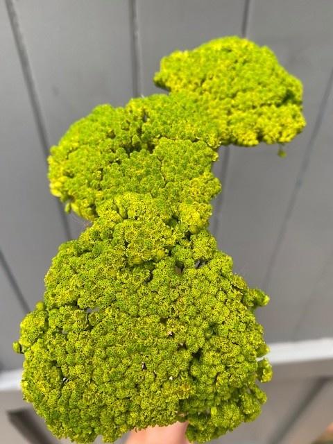 DF achillea parker green 70 cm