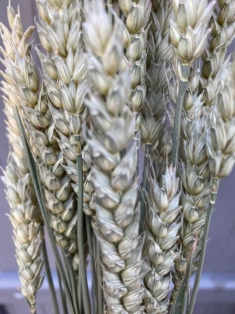 DF wheat natural 70 cm