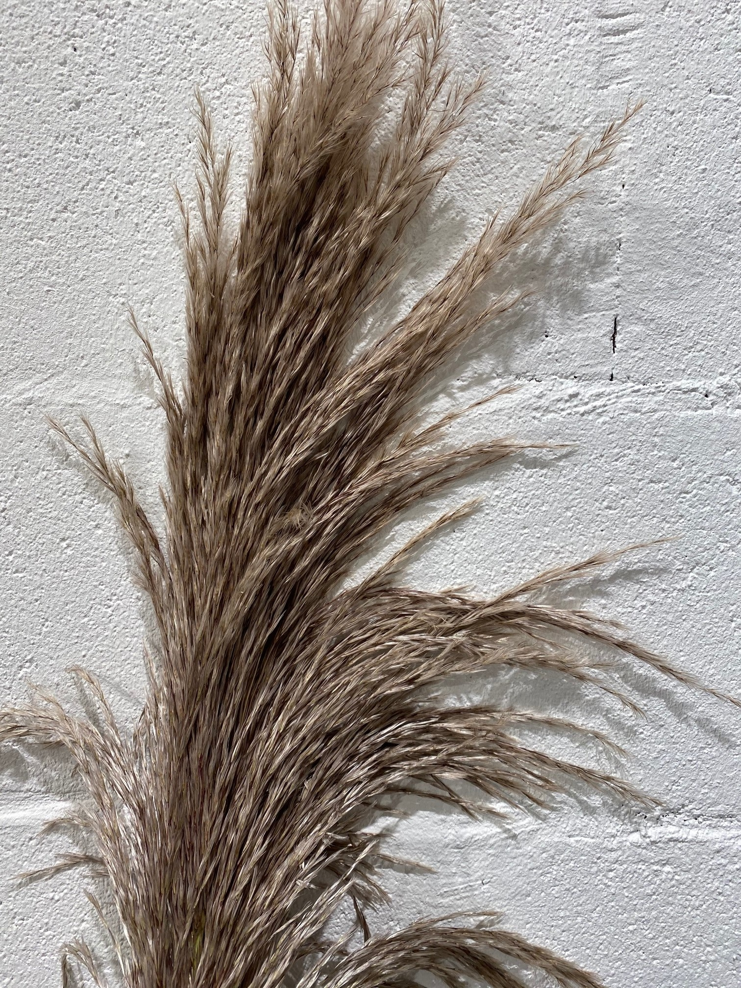 AA cortaderia pampas naturel fresh piece 120 cm
