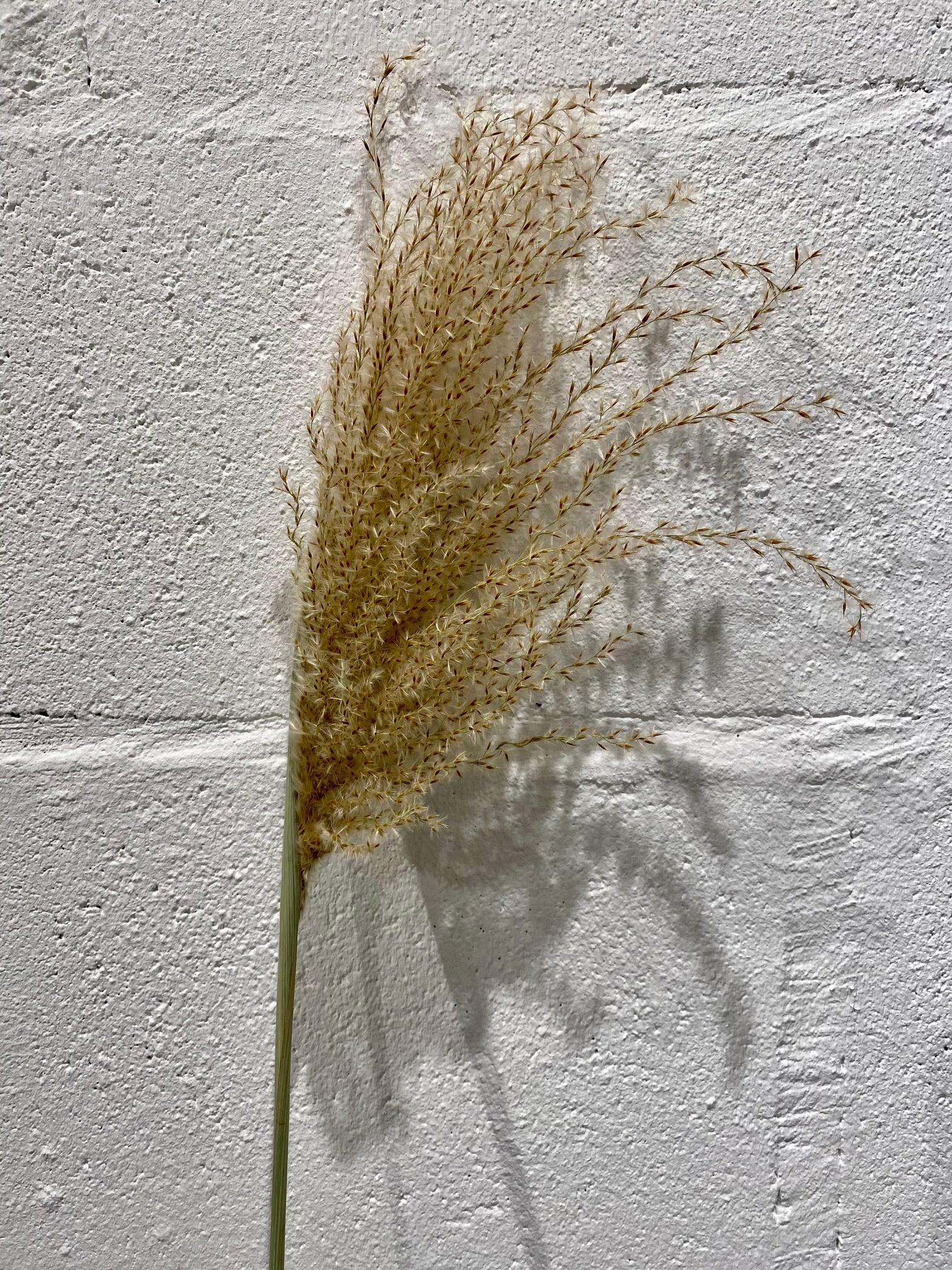 DF Miscanthus per piece 100 cm