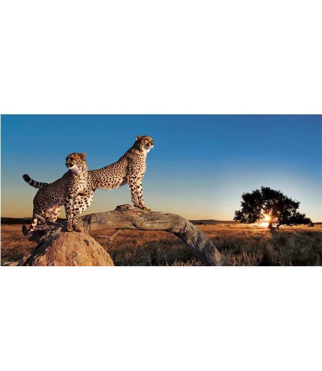 Ingelijste Posters: Luipaarden op de Savanne