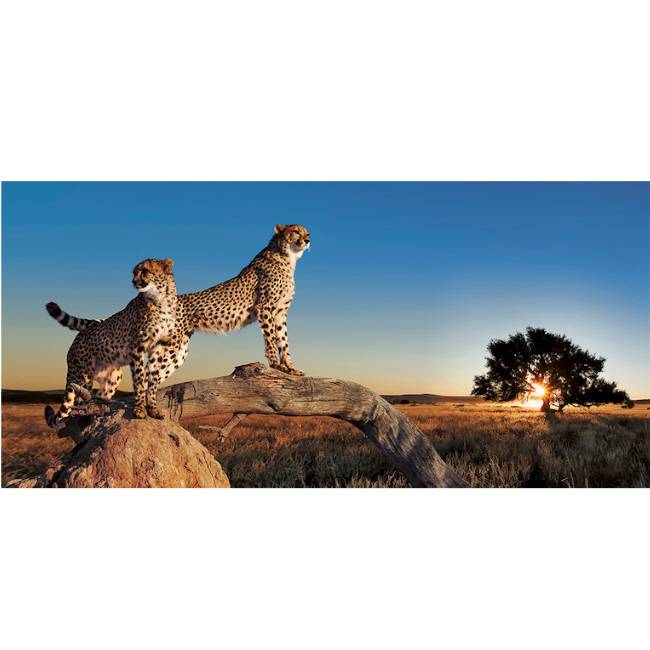 Kunstzinnige Ingelijste Posters: Luipaarden op de Savanne