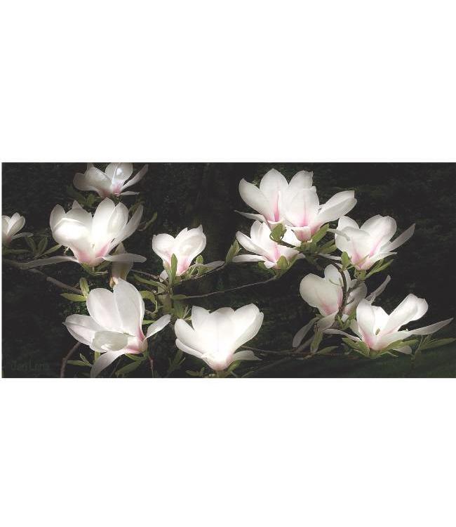 Ingelijste Posters: Bloemen Witte Magnolia