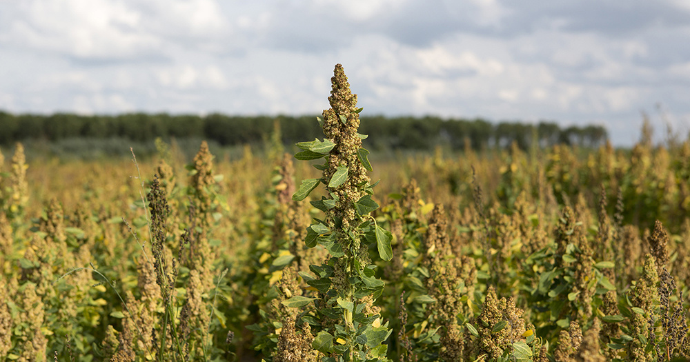 Quinoa van Noordhollandse bodem