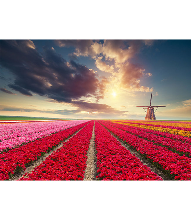 Sweet Living Canvas schilderij Hollands Tulpenveld