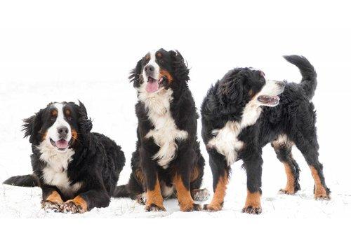 Berners in de sneeuw 28 september