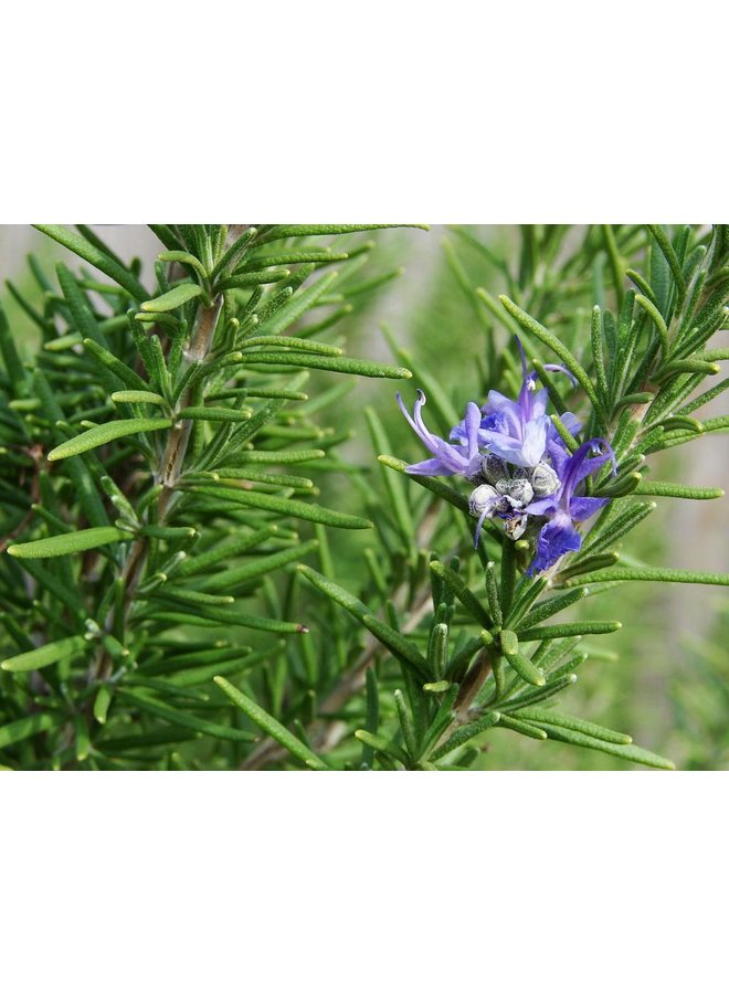 Rosemary, Your Day Will Come Mist Spray