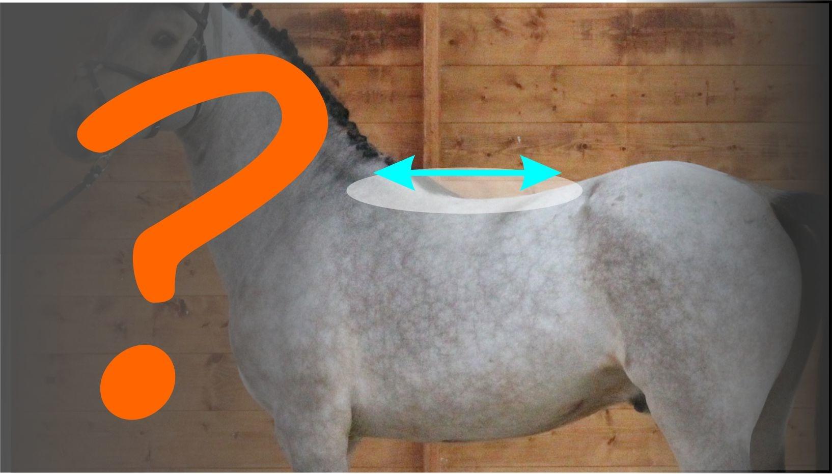 Kurzer Sattel für ein kurzes Pferd?