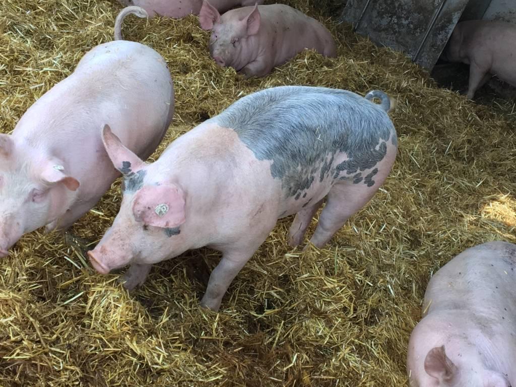 Unsere Schweinehaltung