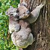 Koalas Kalender 2020