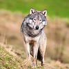 Wölfe - Wolves Kalender 2020