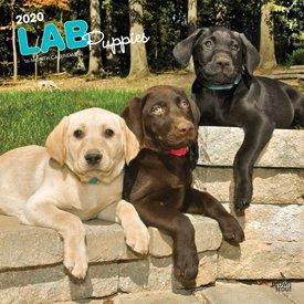 Browntrout Labrador Retriever Puppies Kalender 2020