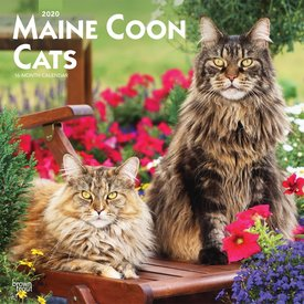 Browntrout Maine Coon Cats Kalender 2020
