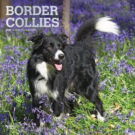Browntrout Border Collie Kalender 2020