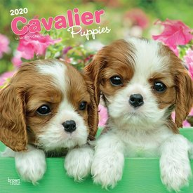 Browntrout Cavalier King Charles Spaniel Welpen Kalender 2020