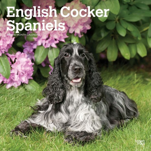 Browntrout English Cocker Spaniel - Englische Cockerspaniel Kalender 2020