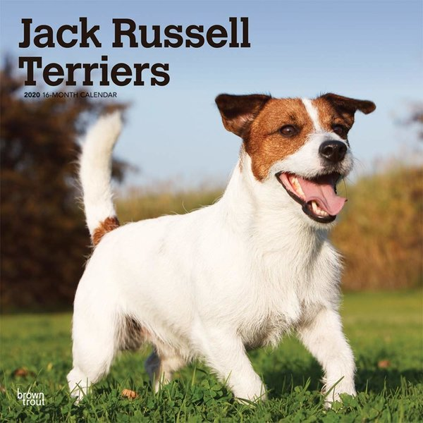 Browntrout Jack Russell Terrier International Kalender 2020