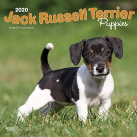 Browntrout Jack Russell Terrier Puppies Kalender 2020