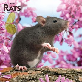Browntrout Ratten Kalender 2020