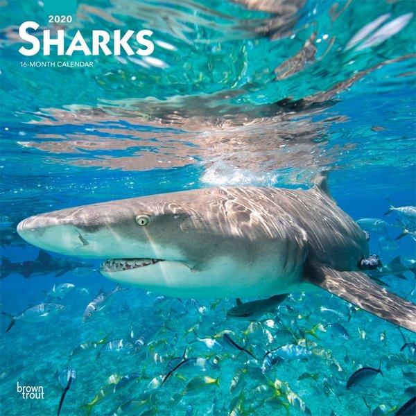 Browntrout Haie - Sharks Kalender 2020