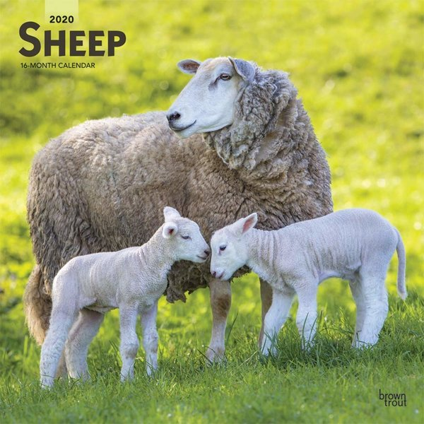 Browntrout Schapen - Sheep Kalender 2020