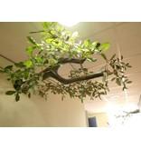 Wandboom muurtak