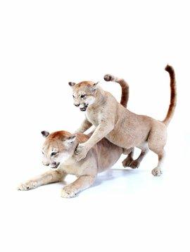 Opgezette Puma's