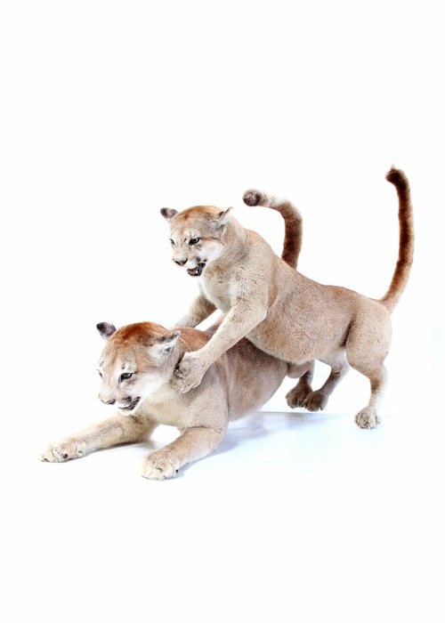 Stuffed Pumas