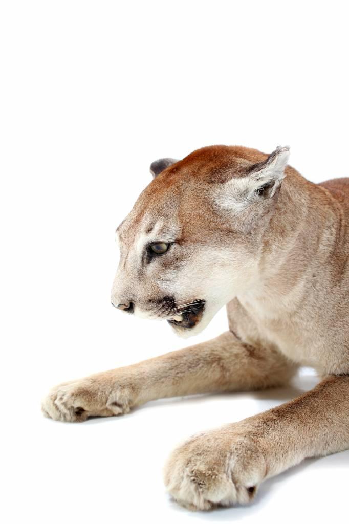 Taxidermie Puma's