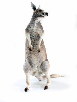 kangaroo taxidermy