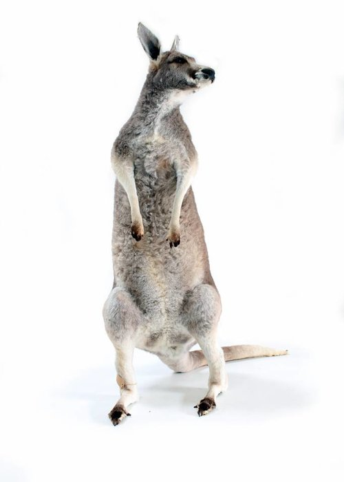 Opgezette kangoeroe
