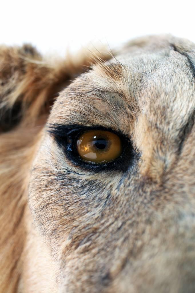 Opgezette leeuw