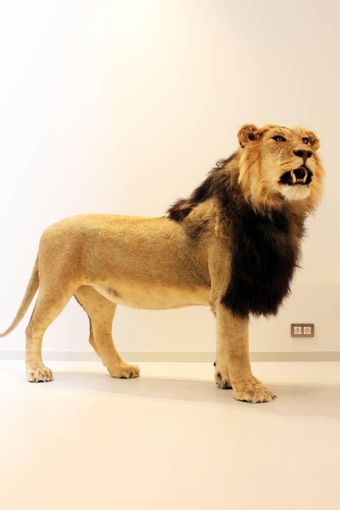 Mount lion