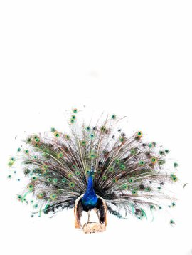 Taxidermy peacock