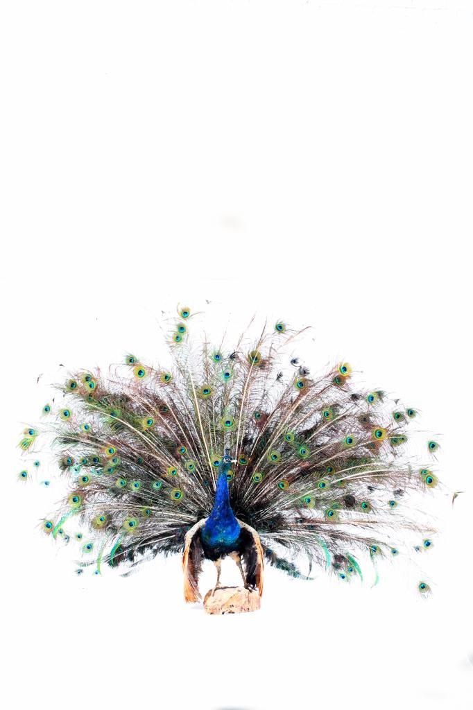 Taxidermie blauwe pauw