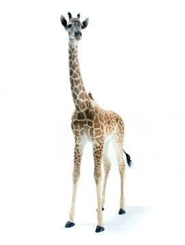 Opgezette giraf