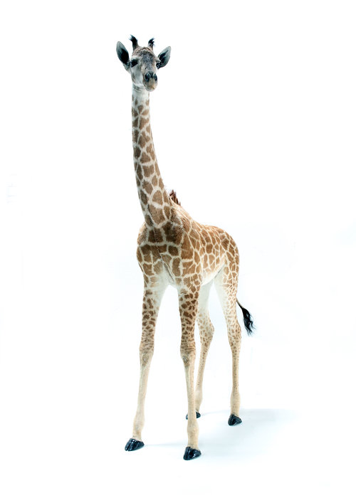 Taxidermy giraffe