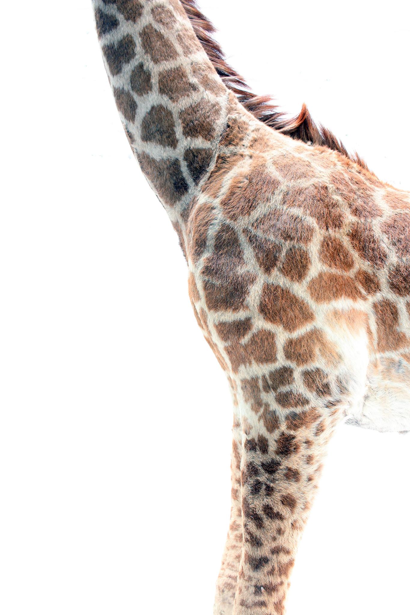 Taxidermybaby giraffe taxidermy