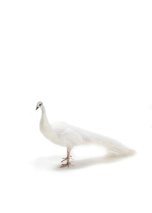 Taxidermy white peacock