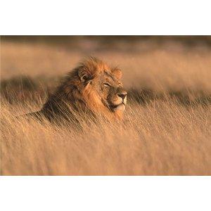 Foto op glas 'leeuw'