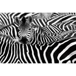 Foto op glas zebra's