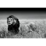 zwart-wit foto Leeuw