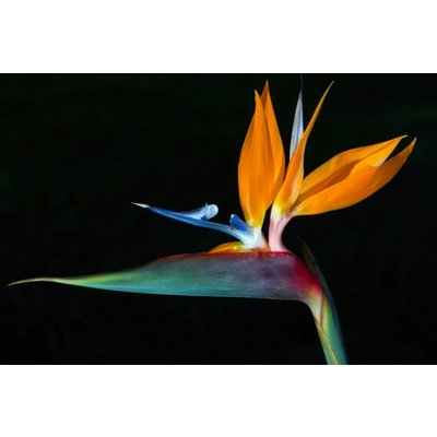 "Aluminium wanddecoratie ""Bird of Paradise"""