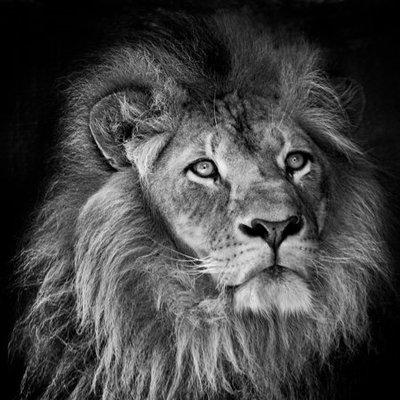 Zwart wit wanddecoratie Leeuw