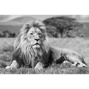Zwart wit wanddecoratie liggende leeuw