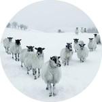 Glas schilderij kudde schapen