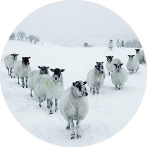 foto op glas kudde schapen