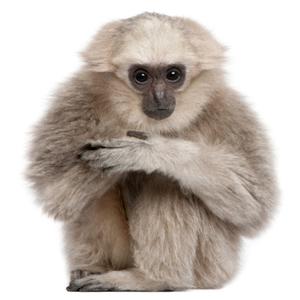 Wanddecoratie Gibbon
