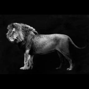 Leeuw zwart/wit